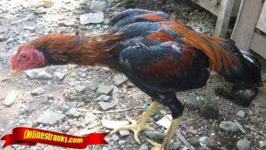 Kenali Sifat Ayam Sebelum Bertanding