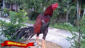 Tips Rawat Ayam Sebelum Tanding