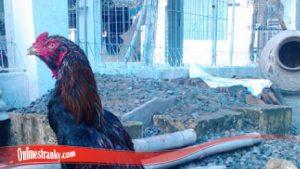 Arti Ayam Brewok Bagi Pesabung Ayam S128
