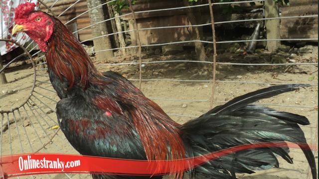 Membangkitkan Mental Ayam S128 Yang Kalah