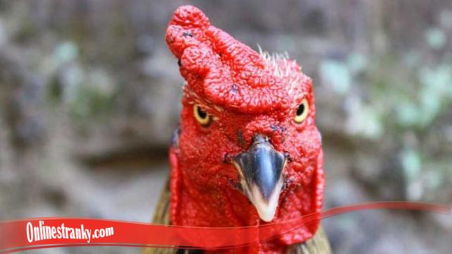 Sembuhkan Mata Ayam S128 Luka Karena Pertarungan
