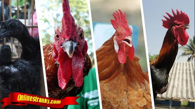 Fakta Penting Tentang Ayam