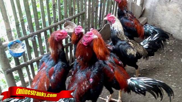 Tips Dan Cara Ternak Ayam Aduan