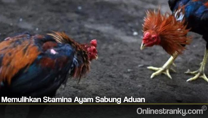 Memulihkan Stamina Ayam Sabung Aduan